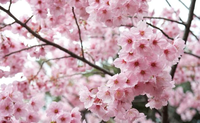 Fakta-Menarik-Bunga-Sakura